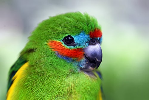ParakeetColorful