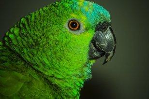 parrot-2960562__340