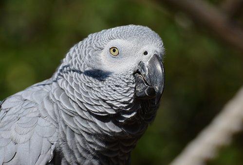 african-grey-parrot-1602970__340