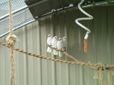 Perching in Aviary