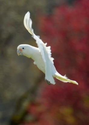 Topper in flight