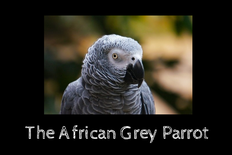 The African Grey Parrot:         Data and Deliberations